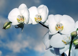 orchid-1378717_640